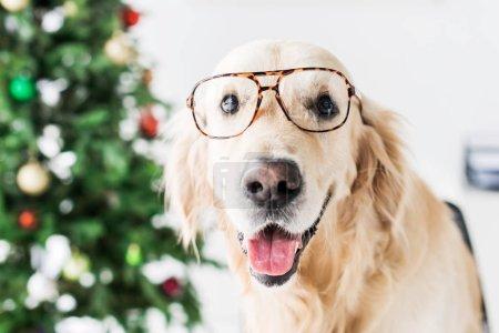 golden retriever in glasses, selective focus