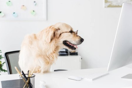 Photo pour Chien golden retriever affaires dans des verres à l'espace de travail - image libre de droit