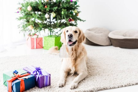 golden retriever lying on floor near gift boxes at christmastime