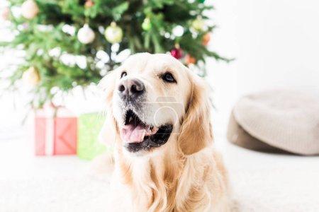 happy golden retriever, selective focus of christmas tree