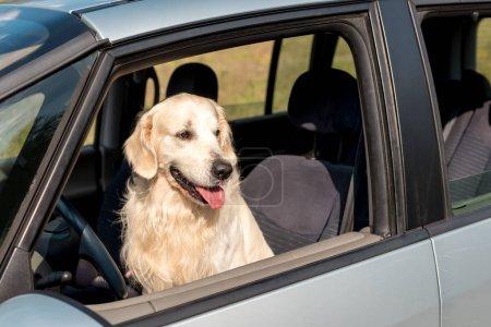 beautiful golden retriever dog looking out car window in field