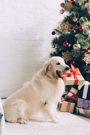 adorable golden retriever sitting with gift box in mouth near christmas tree at home