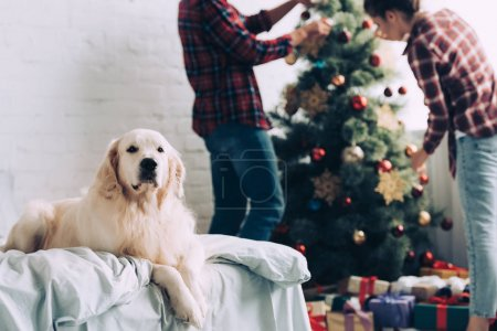 Photo for Selective focus of cute golden retriever sitting on bed while couple decorating christmas tree behind at home - Royalty Free Image