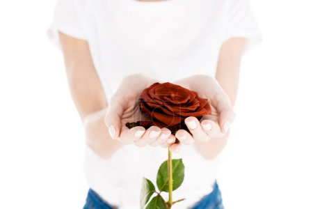Partial view of woman holding wonderful red flower isolated on white