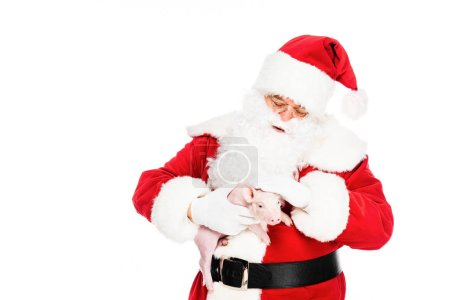 Photo for Santa claus holding little pig and petting her isolated on white - Royalty Free Image
