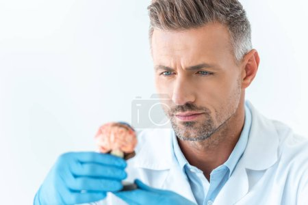 selective focus of handsome scientist looking at brain model isolated on white