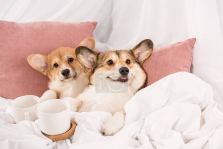 pembroke welsh corgi dogs lying in bed with white cups at home