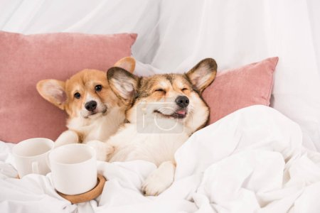 Photo for Cute pembroke welsh corgi dogs lying in bed with white cups at home - Royalty Free Image