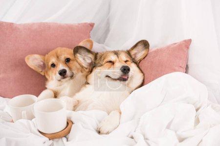 Photo pour Mignon chien gallois pembroke corgi couché dans le lit avec des tasses blanches à la maison - image libre de droit