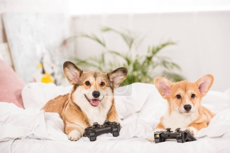 funny pembroke welsh corgi dogs lying in bed with joysticks at home
