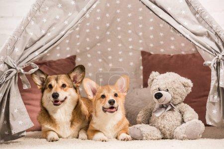 Photo pour Mignon de pembroke welsh corgi chiens se trouvant dans le wigwam avec ours en peluche à la maison - image libre de droit