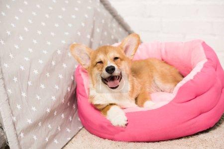 adorable pembroke welsh corgi dog lying in soft pet house at home