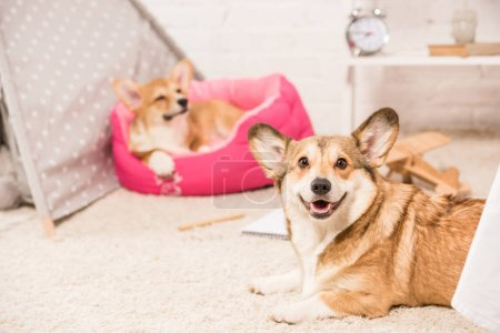 cute pembroke welsh corgi dogs resting in soft pet house and on fluffy rug at home