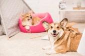 """Постер, картина, фотообои """"Симпатичные Пемброк Вельш корги собак отдыхает в мягких животных дома и на Пушистый ковер на дому"""""""