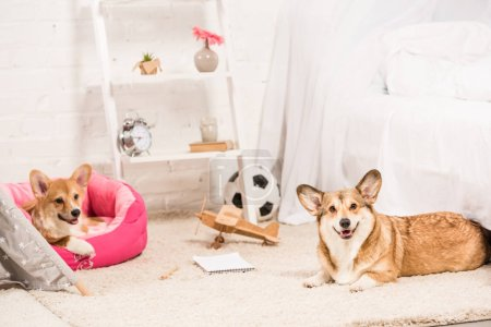 funny pembroke welsh corgi dogs resting in soft pet house and on fluffy rug at home