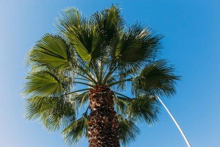 Photo pour Grand palmier vert sur fond de ciel bleu, Barcelone, Espagne - image libre de droit