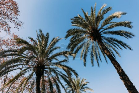 Photo for Tall lush palm trees on blue sky background, barcelona, spain - Royalty Free Image