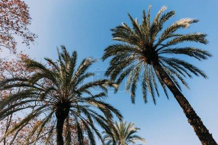 Photo pour Grands palmiers luxuriants sur fond de ciel bleu, Barcelone, espagne - image libre de droit
