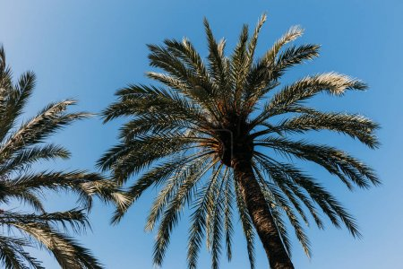 tall straight green palm trees on blue sky background, barcelona, spain