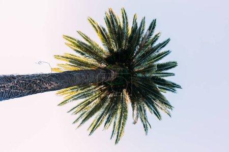 Photo pour Grand palmier droit sur fond bleu ciel, Barcelone, espagne - image libre de droit