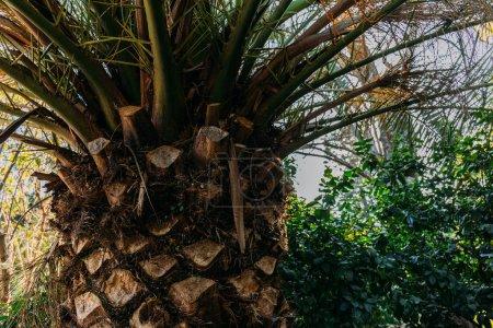 Photo pour Gros plan du tronc d'arbre de paume dans le parc de la ciutadella, Barcelone, Espagne - image libre de droit