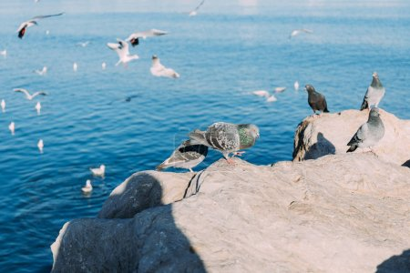 Photo for Selective focus of pigeons sitting on coast rocks and seagulls flying over sea, barcelona, spain - Royalty Free Image