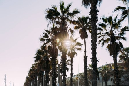 Photo for Urban scene with straight tall palm trees, barcelona, spain - Royalty Free Image