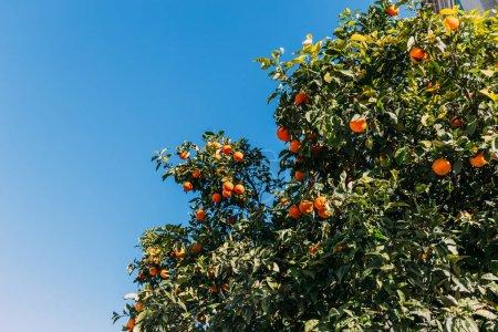 green orange trees with oranges