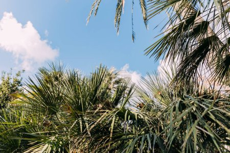 Photo for Green palm trees on blue sky background, barcelona, spain - Royalty Free Image