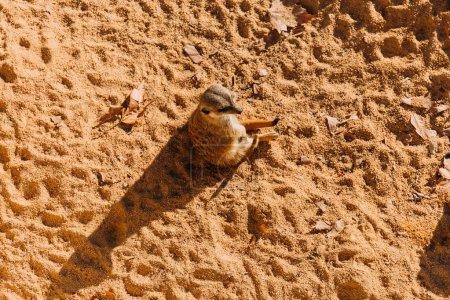 funny suricate sitting on sand on sunlight in zoo, barcelona, spain