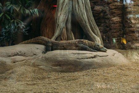 varan lying on stone in