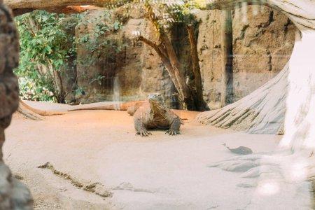 varan in terrarium lazing on