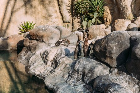 pinguins on rocks on sunlight