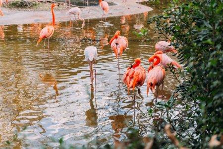 Photo pour Troupeau de flamants roses marchant dans l'étang dans le parc zoologique, Barcelone, Espagne - image libre de droit