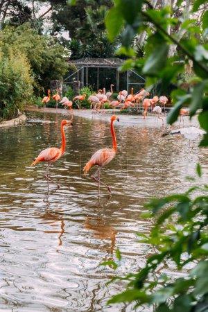 Photo pour Couple de beau flamant rose séjournant dans l'étang du zoo et groupe de flamants roses sur le rivage, Barcelone, Espagne - image libre de droit