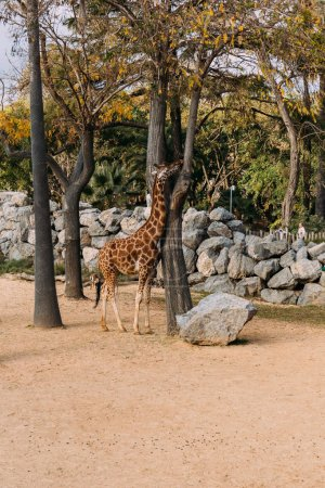 Photo for Funny giraffe walking between trees in zoological park, barcelona, spain - Royalty Free Image
