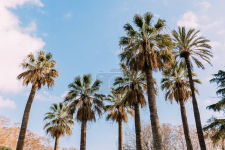 Photo for Tall straight palm trees on blue sky background, barcelona, spain - Royalty Free Image