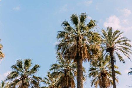 Photo pour Palmiers luxuriants sur fond bleu ciel, lbarcelona, espagne - image libre de droit