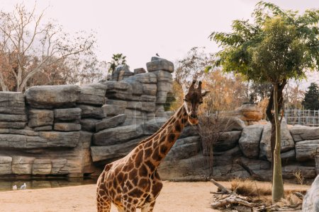 Photo pour Girafe drôle marche dans le parc zoologique, Barcelone, espagne - image libre de droit