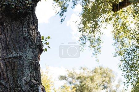 Photo pour Mise au point sélective d'arbre avec des feuilles vertes dans un parc paisible avec un ciel bleu - image libre de droit