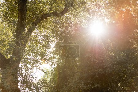 Photo for Low angle view of sunshine through tree with green leaves in park - Royalty Free Image