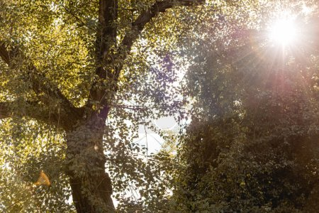 Photo for Low angle view of bright sunshine through tree with green leaves in park - Royalty Free Image