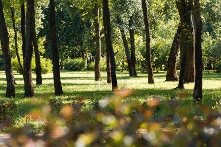 Photo pour Foyer sélectif des arbres avec des feuilles vertes dans un parc paisible - image libre de droit