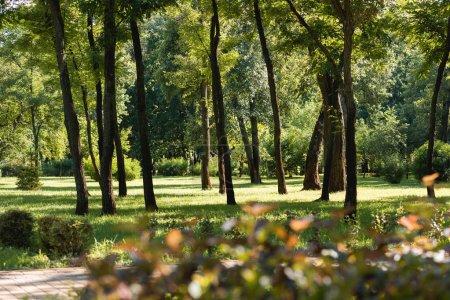 Photo pour Foyer sélectif des arbres avec des feuilles vertes dans le parc tranquille - image libre de droit
