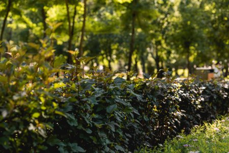 Photo for Selective focus of sunshine on green leaves in peaceful park - Royalty Free Image