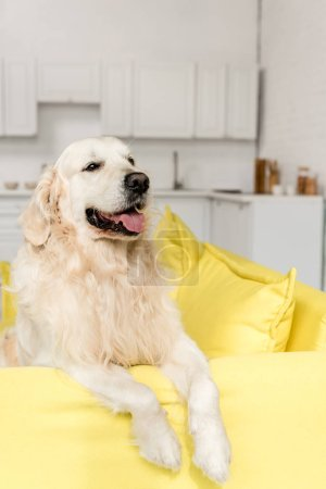 Photo for Cute golden retriever lying on yellow sofa and looking away - Royalty Free Image