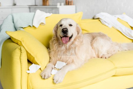 Photo for Cute golden retriever in lying on bright yellow sofa in messy apartment - Royalty Free Image