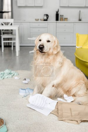 Photo for Cute golden retriever sitting on floor in messy apartment - Royalty Free Image