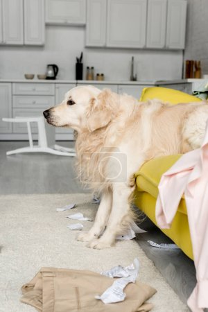 Photo for Side view of cute golden retriever lying on yellow sofa in messy apartment - Royalty Free Image