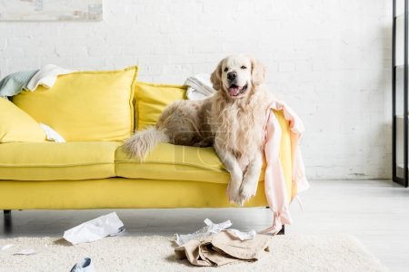Photo for Cute golden retriever lying on yellow sofa in messy apartment - Royalty Free Image